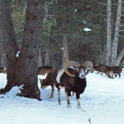 Le mouflon des Pyrénées