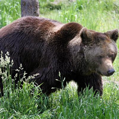 En fin de parcours, vous arriverez à l'enclos des ours. Cette année, le parc a eu la chance d'accueillir 3 oursons!