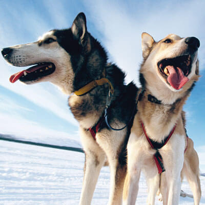 Descobrir els gossos de trineu
